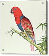 Electus Parrot On A Bamboo Shoot Acrylic Print
