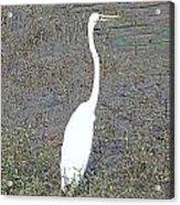 Elegant Egret  Acrylic Print