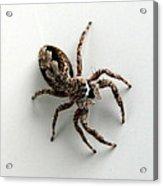 Elegant Jumping Spider Acrylic Print by Christina Rollo