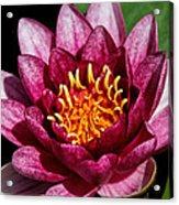 Elegant Lotus Water Lily Acrylic Print