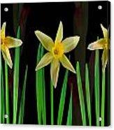 Elegant Yellow Flowers On Green Shoots Acrylic Print