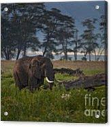 Elephant   #0134 Acrylic Print