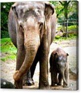 Elephant Baby Olli With Mommy Acrylic Print