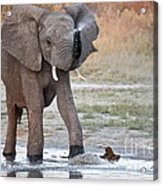 Elephant Calf Spraying Water Acrylic Print