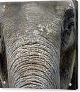 Elephant Close Up 1 Acrylic Print