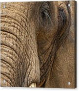 Elephant Close Up Acrylic Print