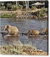 Elephant Crossing Acrylic Print