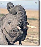 Elephant Curling Trunk Acrylic Print