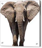 Elephant Isolated Acrylic Print