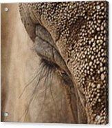 Elephant Lashes Acrylic Print