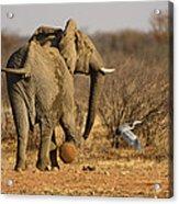 Elephant On The Run Acrylic Print