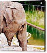 Elephant Open Mouth Acrylic Print