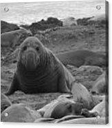 Elephant Seal Bull Acrylic Print