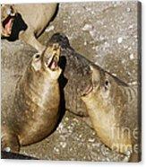 Elephant Seal Confrontation Acrylic Print by James L. Amos