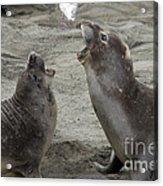 Elephant Seal Confrontation Acrylic Print