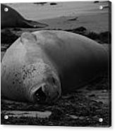 Elephant Seal Laughter Acrylic Print by Gwendolyn Barnhart