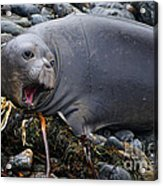 Elephant Seal Of Ano Nuevo State Reserve Acrylic Print