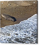 Elephant Seal Sunning On Beach Acrylic Print