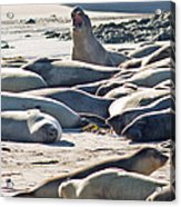 Elephant Seals At Ano Nuevo State Park California Acrylic Print by Natural Focal Point Photography