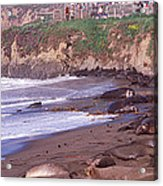 Elephant Seals On The Beach, San Luis Acrylic Print
