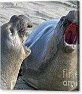 Elephant Seals - San Simeon California Acrylic Print