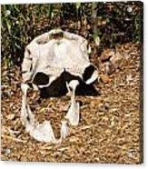 Elephant Skull Acrylic Print