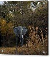 Elephant Trail Acrylic Print
