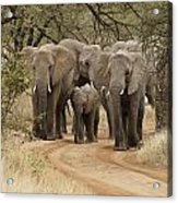 Elephants Have the Right of Way Acrylic Print