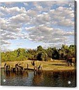 Elephants In Chobe Acrylic Print