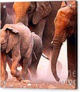 Elephants Stampede Acrylic Print