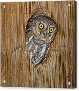 Elf Owl Acrylic Print