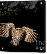Elf Owl Acrylic Print by Scott Linstead