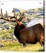 Elk 7 Point Giant Acrylic Print by Rebecca Adams