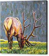 Elk Acrylic Print by Aaron Spong