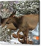 Elk And A Beetle Acrylic Print
