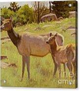 Elk And Calf Acrylic Print
