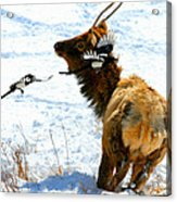 Elk And Magpie  Acrylic Print by Rebecca Adams