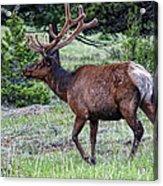 Elk Bull Acrylic Print