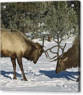 Elk  Bulls Fighting In Yellowstone Acrylic Print