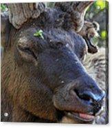 Elk Chuckle Acrylic Print