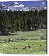 Elk Cows In Beaver Meadows Acrylic Print by Tom Wilbert