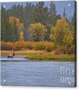 Elk Crossing Acrylic Print