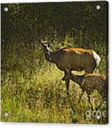 Elk Doe And Fawn-signed  #4465 Acrylic Print