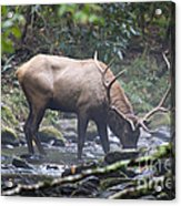 Elk Drinking Water From A Stream Acrylic Print