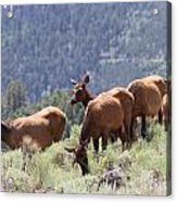 Elk Family - Yellowstone N P Acrylic Print