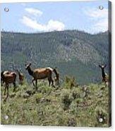 Elk Family Acrylic Print