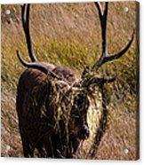 Elk Hairdo Acrylic Print