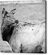 Elk IIi Acrylic Print