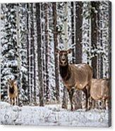 Elk In Jasper Acrylic Print