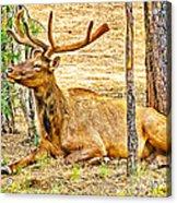 Elk In Kiabab National Forest Arizona Acrylic Print
